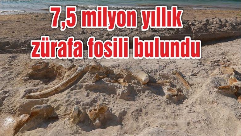 7,5 milyon yıllık zürafa fosili bulundu