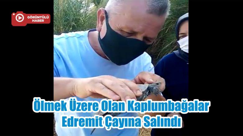 Ölmek Üzere Olan Kaplumbağalar Edremit Çayına Salındı