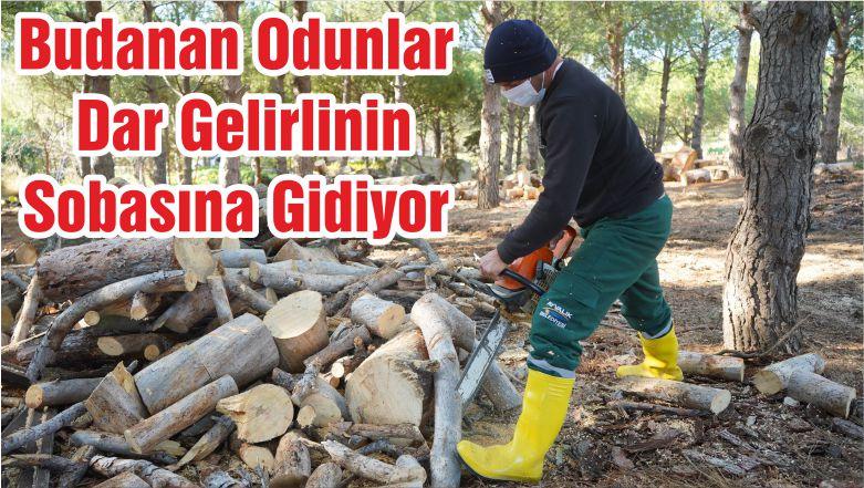 Budanan Odunlar Dar Gelirlinin Sobasına Gidiyor