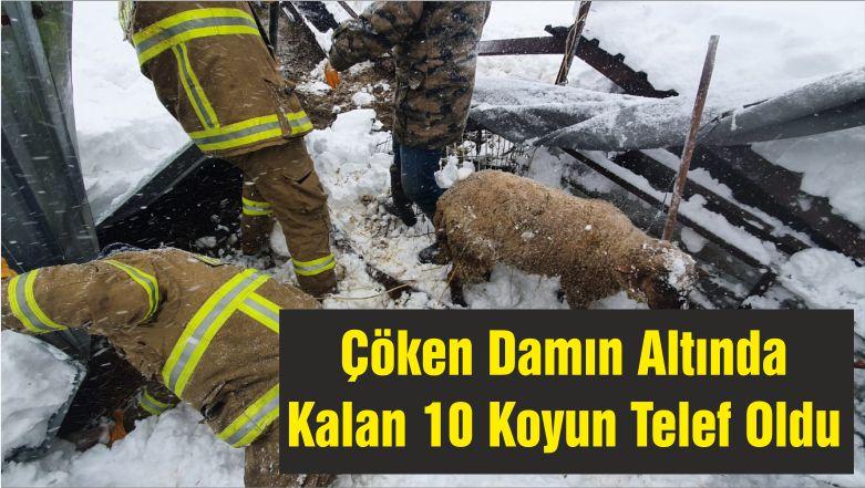 Çöken Damın Altında Kalan 10 Koyun Telef Oldu