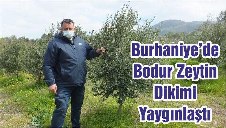 Burhaniye'de Bodur Zeytin Dikimi Yaygınlaştı