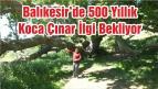 Balıkesir'de 500 Yıllık Koca Çınar İlgi Bekliyor
