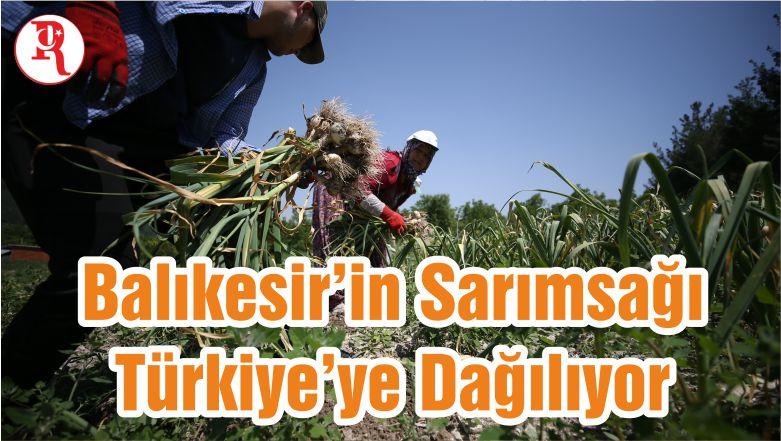 Balıkesir'in Sarımsağı Türkiye'ye Dağılıyor