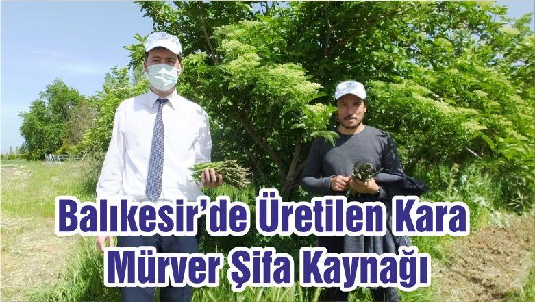 Balıkesir'de Üretilen Kara Mürver Şifa Kaynağı