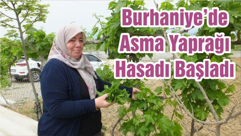 Burhaniye'de Asma Yaprağı Hasadı Başladı