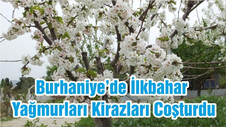 Burhaniye'de İlkbahar Yağmurları Kirazları Coşturdu