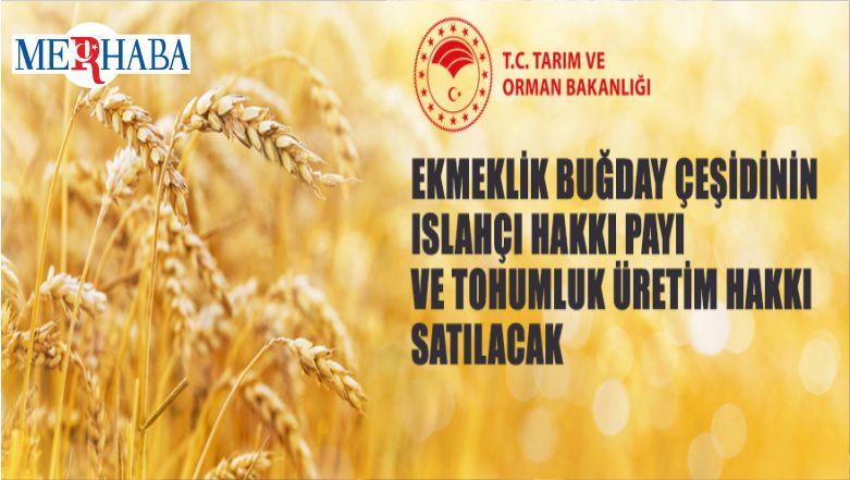 Ekmeklik Buğday Çeşidinin Islahçı Hakkı Payı Ve Tohumluk Üretim Hakkı Satılacak