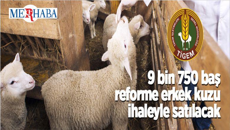 9 Bin 750 Baş Reforme Erkek Kuzu İhaleyle Satılacak