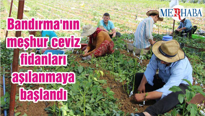 Bandırma'nın meşhur ceviz fidanları aşılanmaya başlandı