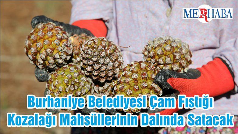 Burhaniye Belediyesi Çam Fıstığı Kozalağı Mahsüllerinin Dalında Satacak