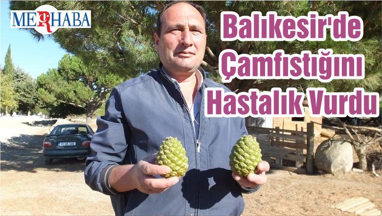 Balıkesir'de Çamfıstığını Hastalık Vurdu